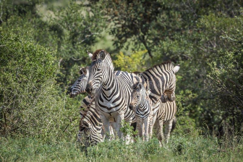 Aclara la cebra en el parque nacional de Kruger, Sur?frica imagen de archivo libre de regalías