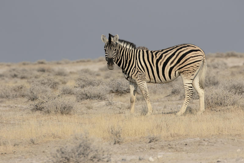 Aclara la cebra, la cebra común o la cebra de Burchells, quagga del Equus foto de archivo