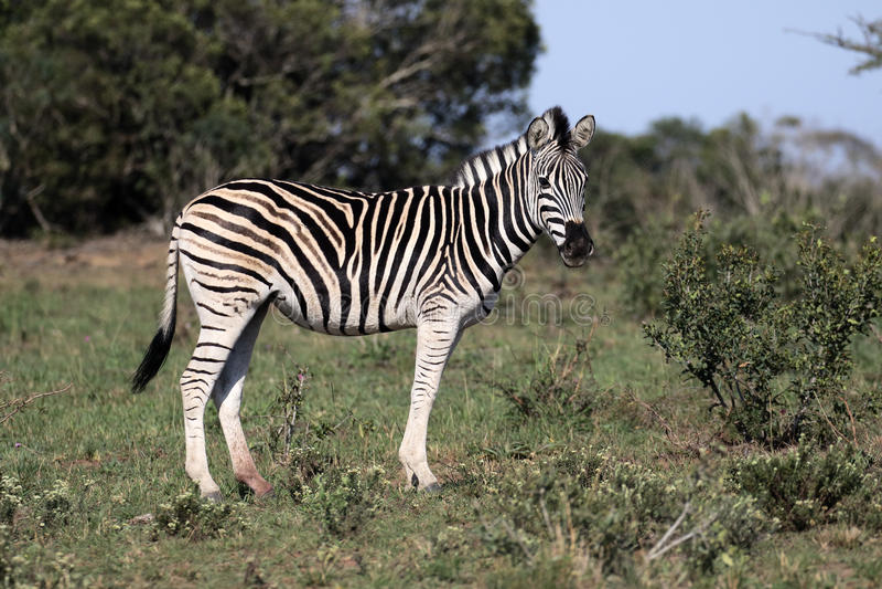 Aclara la cebra, la cebra común o la cebra de Burchells, quagga del Equus foto de archivo libre de regalías
