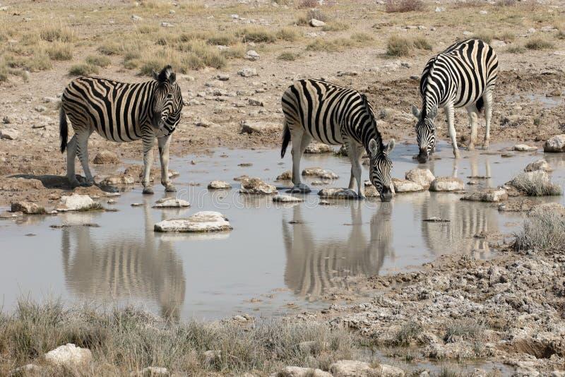 Aclara la cebra, la cebra común o la cebra de Burchells, quagga del Equus fotografía de archivo libre de regalías