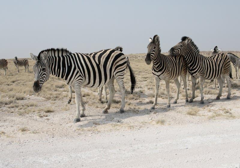 Aclara la cebra, la cebra común o la cebra de Burchells, quagga del Equus imagenes de archivo