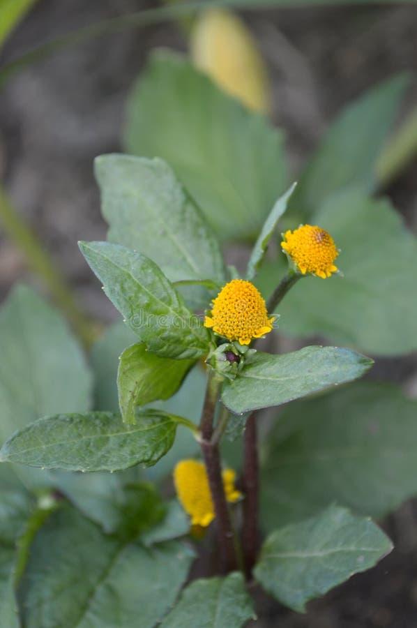 Acmella oleraceablomma i naturträdgård royaltyfri bild