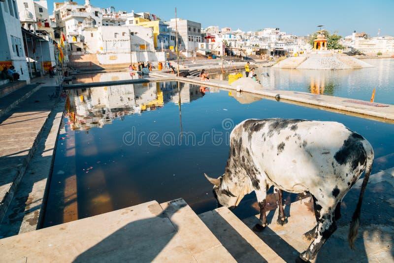 Acobarde a água sagrado bebendo no ghat santamente do lago Pushkar em Pushkar, Índia imagem de stock