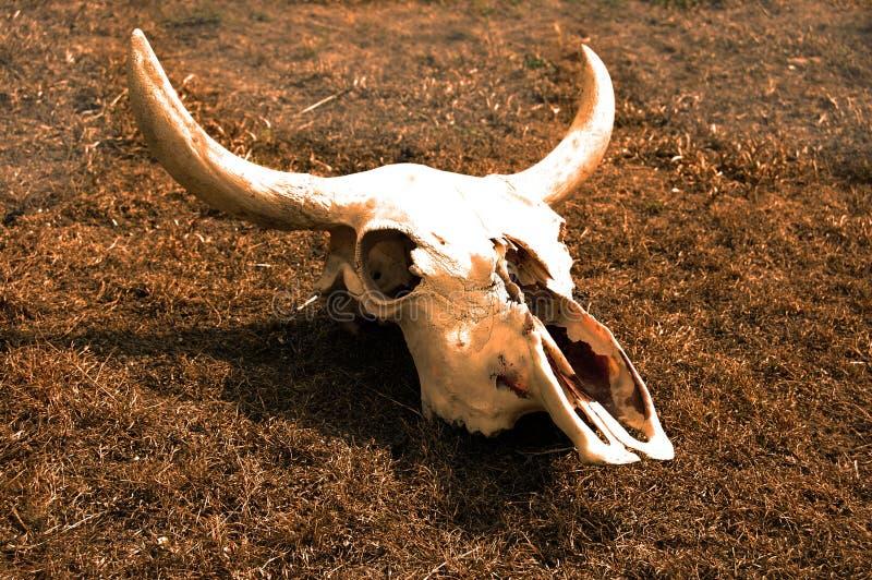 Acobarde el cráneo en muerte depecting desecada de la hierba del cambio de clima fotos de archivo