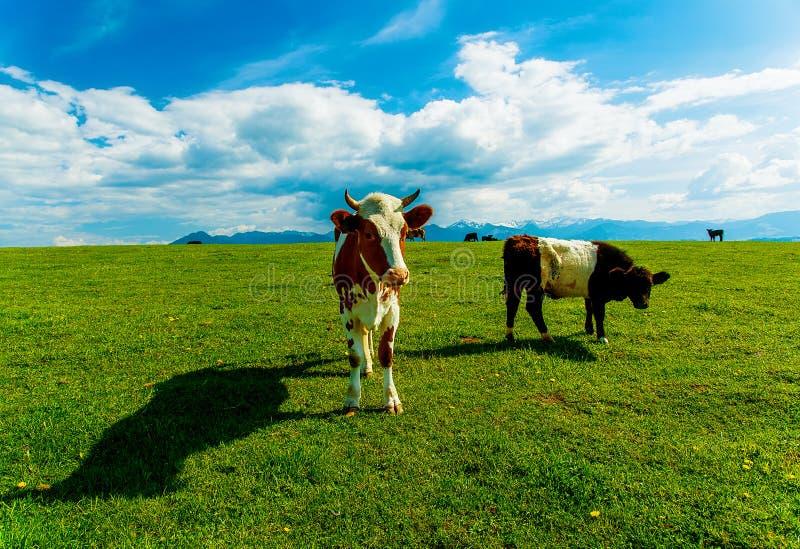 Acobarde el pasto en un prado verde hermoso, con las montañas nevosas en fondo foto de archivo
