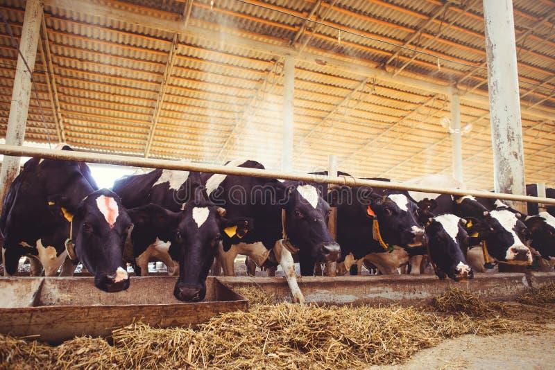 Acobarde o conceito da exploração agrícola da agricultura, a agricultura e os rebanhos animais - um rebanho das vacas que usam o  foto de stock royalty free