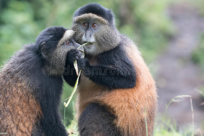 Aconchegar-se dourado dos macacos fotografia de stock royalty free