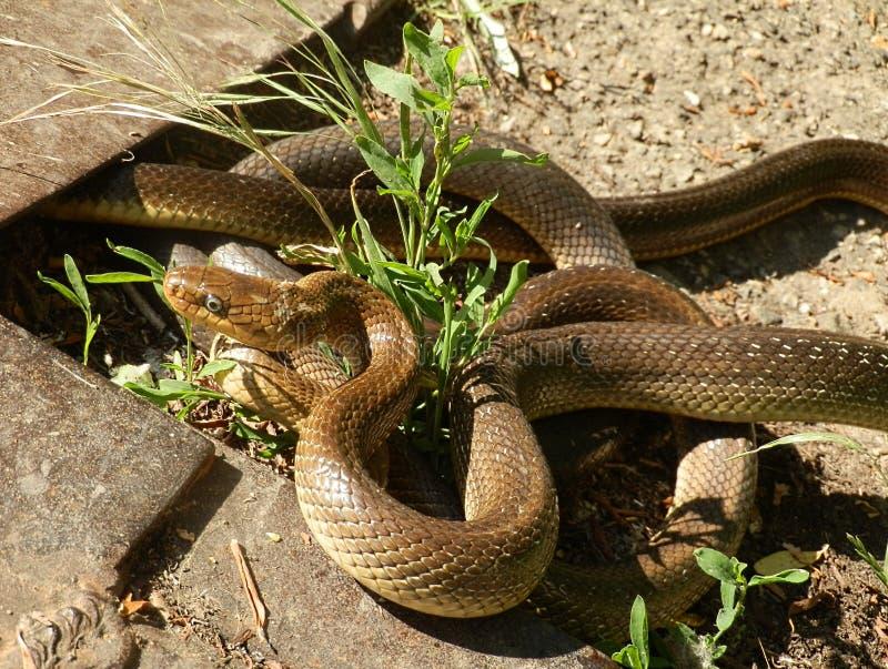 Acoplamento Aesculapian das serpentes fotos de stock