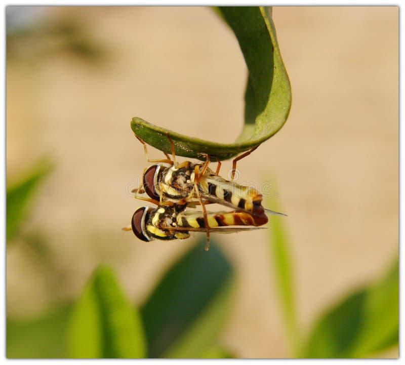 Acoplamento das moscas do pairo foto de stock royalty free