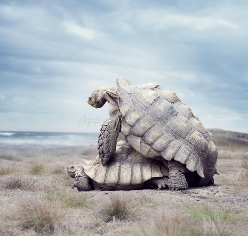 Acoplamento das tartarugas de Galápagos do gigante imagens de stock