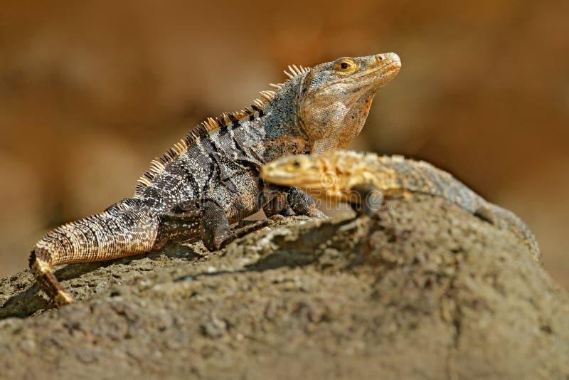 Acoplamento do lagarto Pares de répteis, iguana preta, similis de Ctenosaura, assento fêmea masculino na pedra preta, par de igua fotografia de stock royalty free