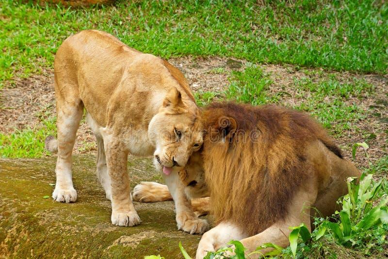 Acoplamento do leão fotografia de stock royalty free