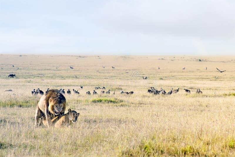 Acoplamento dos leões fotografia de stock royalty free