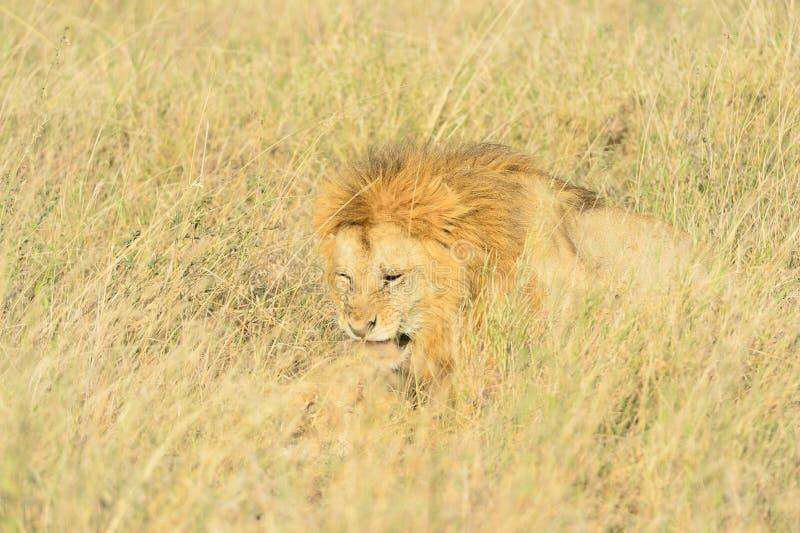 Acoplamento dos leões imagem de stock