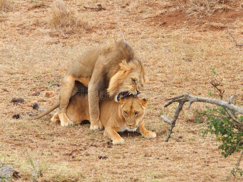 Acoplamento dos leões fotografia de stock