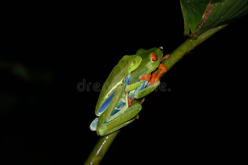 Acoplamento Eyed vermelho da rã de árvore - Costa Rica America fotografia de stock