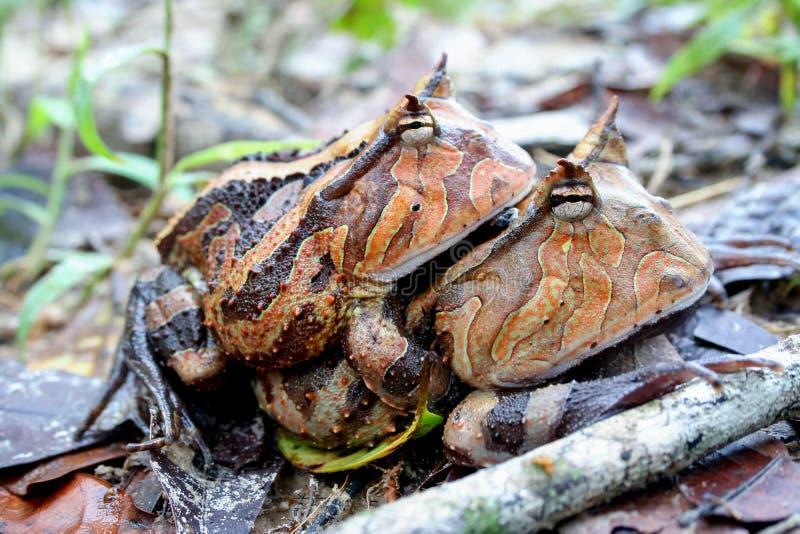 Acoplamento horned surinamês das rãs fotografia de stock