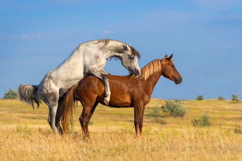 Acoplamiento de dos caballos fotos de archivo