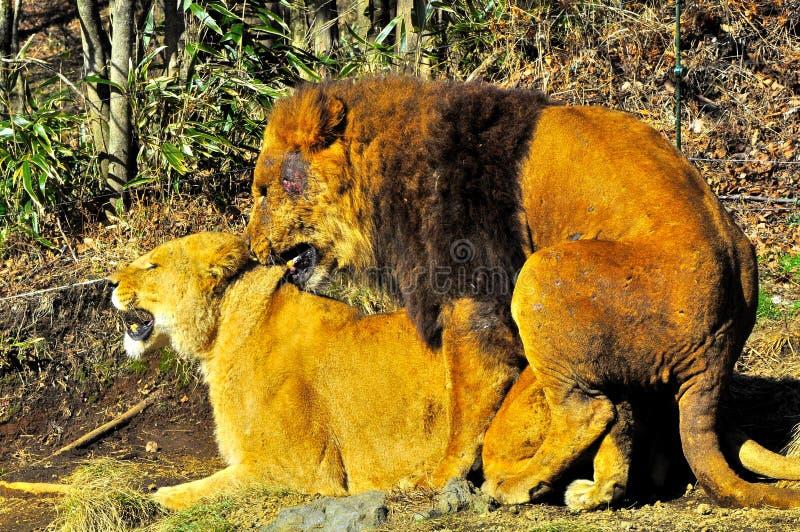 Acoplamiento de dos leones. imagenes de archivo