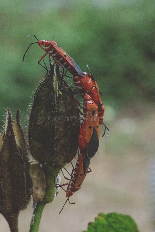 Acoplamiento de insectos fotografía de archivo libre de regalías