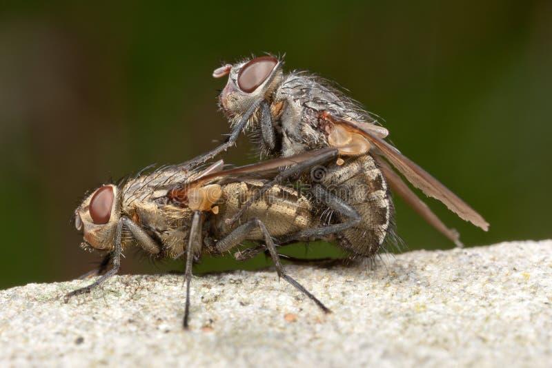 Acoplamiento de las moscas fotos de archivo libres de regalías