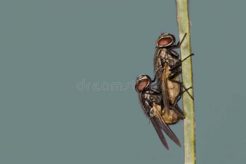Acoplamiento de las moscas fotografía de archivo libre de regalías