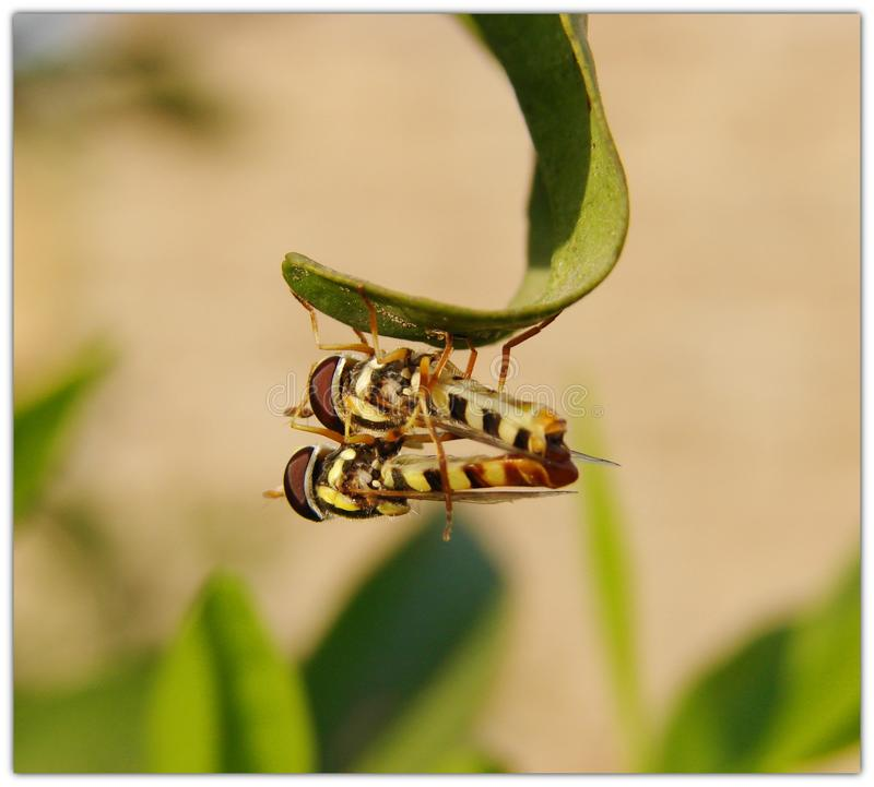 Acoplamiento de las moscas de la libración foto de archivo libre de regalías