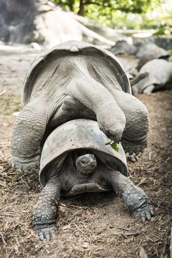 Acoplamiento de las tortugas imagen de archivo