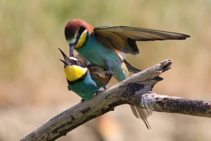Acoplamiento de los comedores de abeja europeos, pájaros del apiaster del Merops fotos de archivo libres de regalías