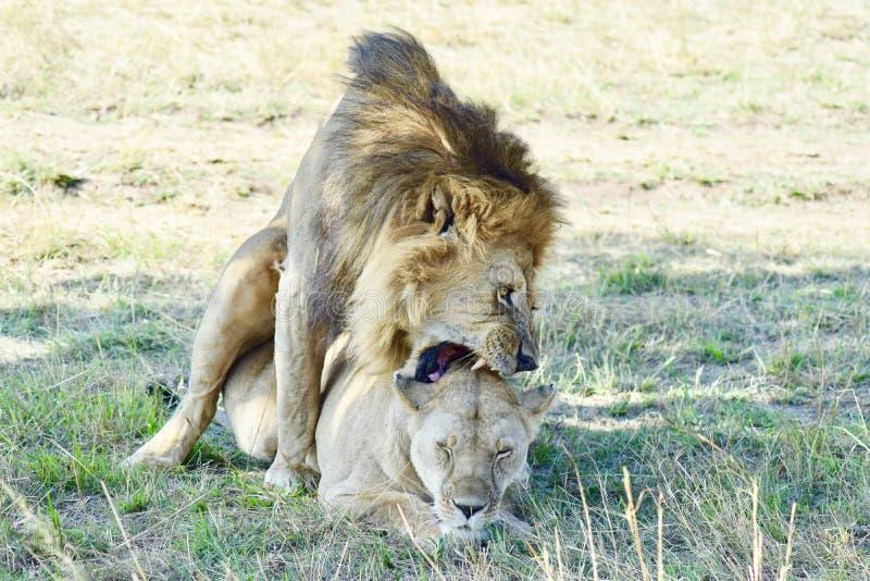 Acoplamiento de los leones imágenes de archivo libres de regalías