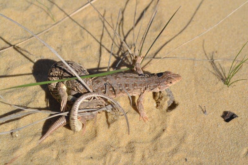 Acoplamiento del lagarto imagen de archivo libre de regalías