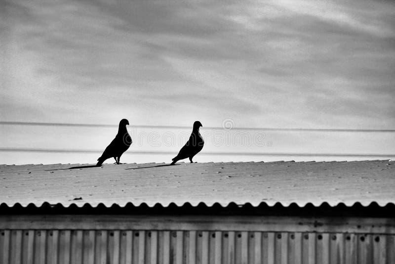 Acople dos pombos em um telhado fotografia de stock