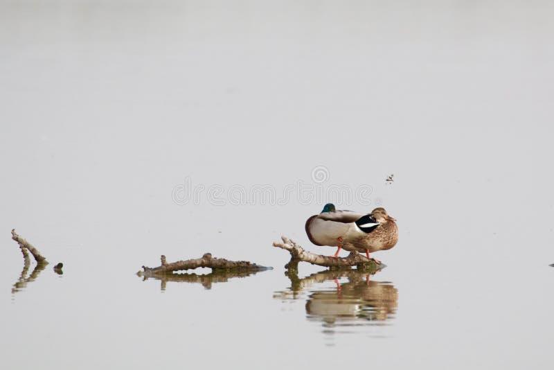 Acople patos foto de stock