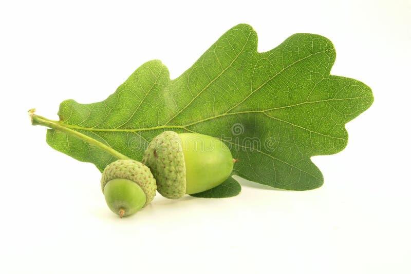 acorn стоковые изображения
