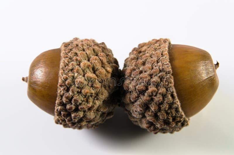 Download Acorn stock image. Image of leaf, green, closeup, nature - 26800981