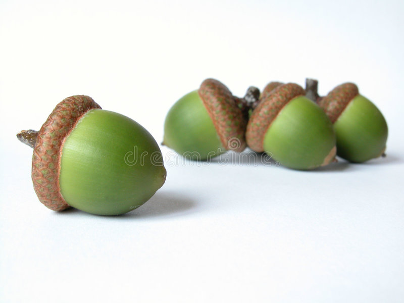 Download Acorn Royalty Free Stock Photography - Image: 52547