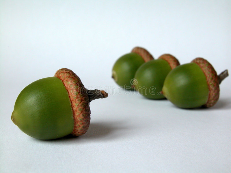 Download Acorn Royalty Free Stock Photos - Image: 52548