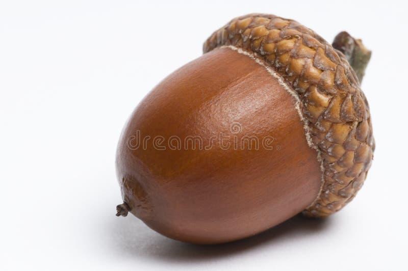 Acorn stock images