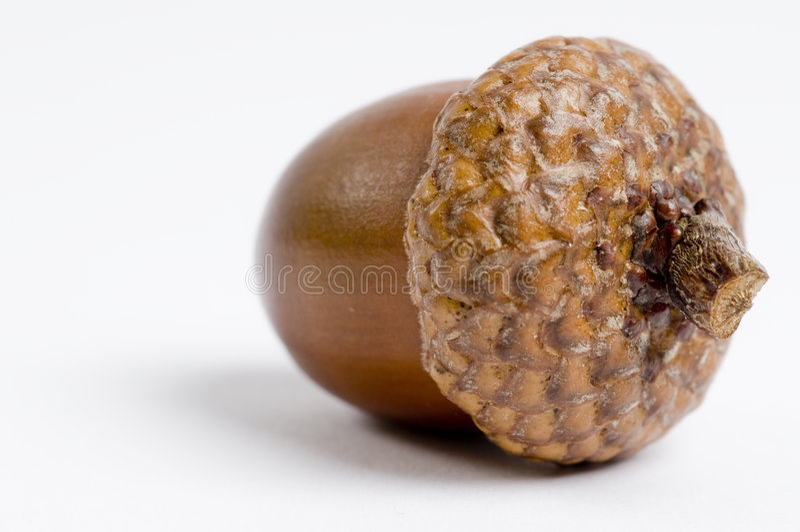 Acorn stock image