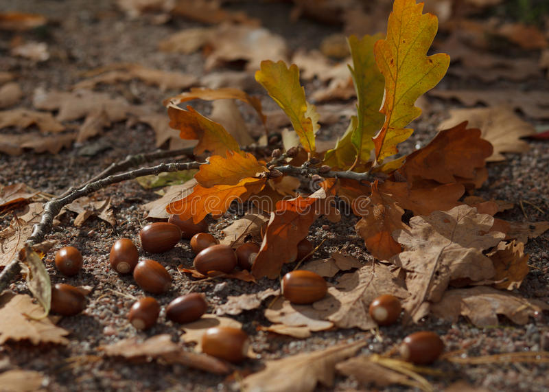 Acorn. Beautiful acorns can be found under the oak tree royalty free stock photo