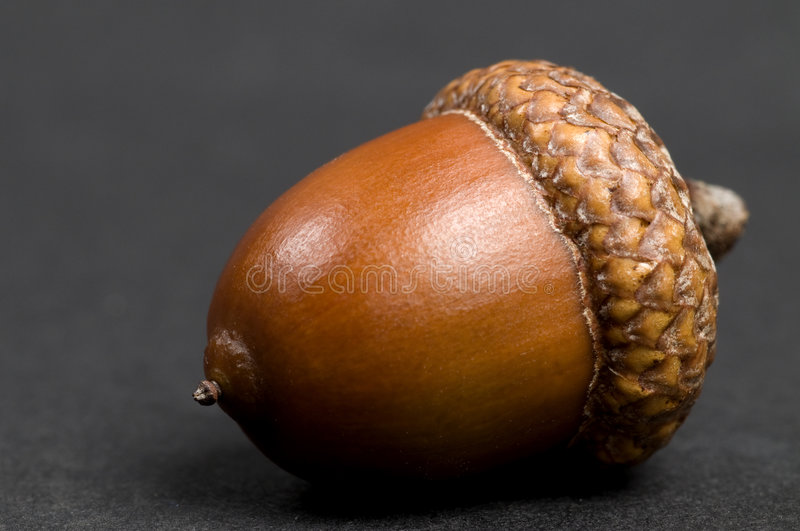 Acorn On Black royalty free stock image