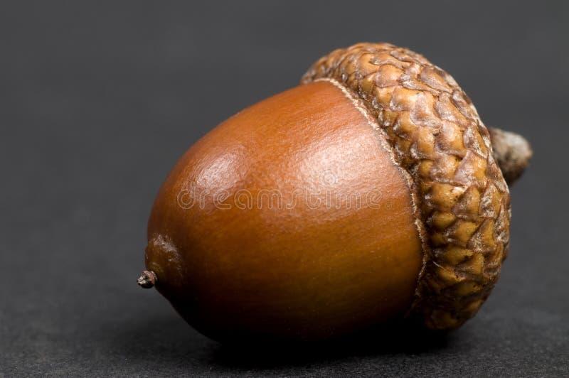 acorn czerń obraz royalty free
