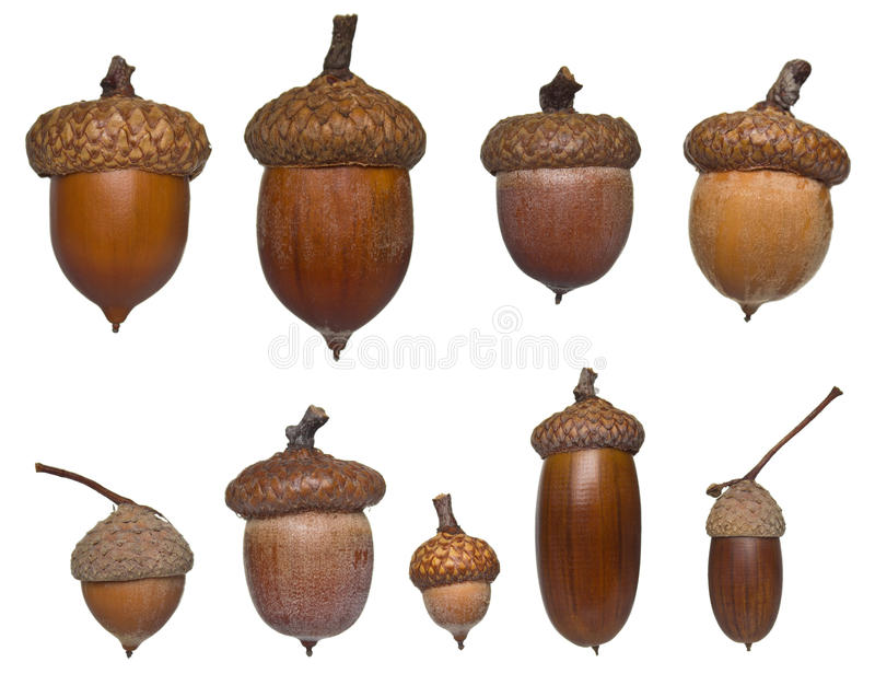 Acorn different type and sizes royalty free stock image