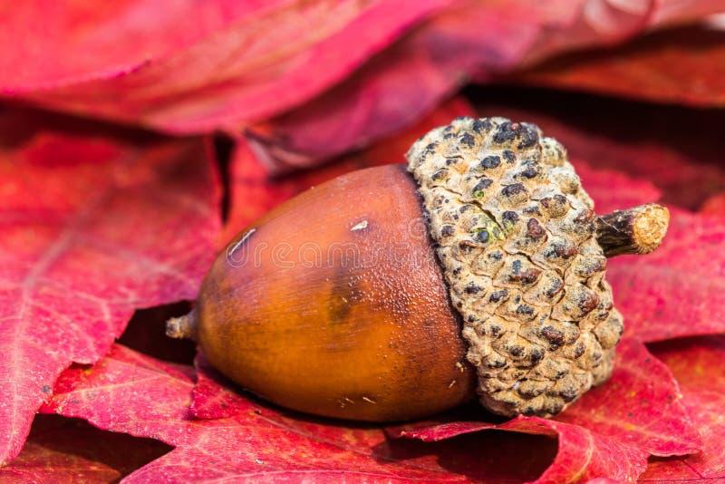Acorn on Fall Leaves stock image