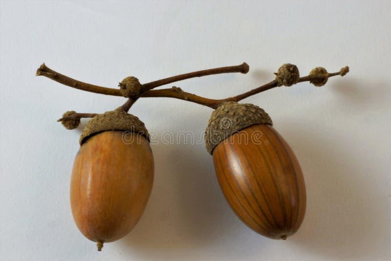 Acorn is a fruit of oak, beech family. stock image
