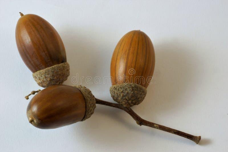 Acorn is a fruit of oak, beech family. royalty free stock photo