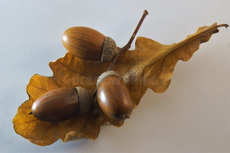 Acorn is a fruit of oak, beech family. stock photography