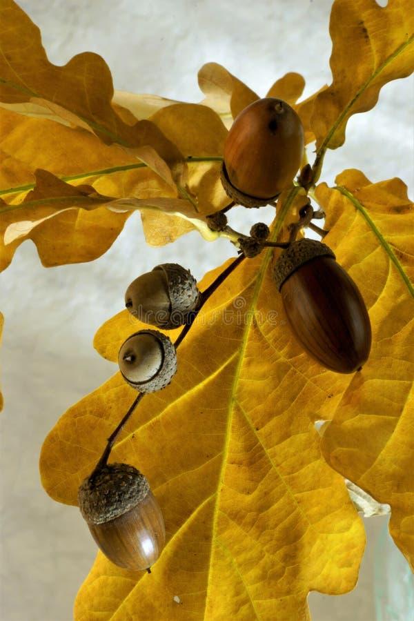Acorn is a fruit of oak, beech family. royalty free stock photos