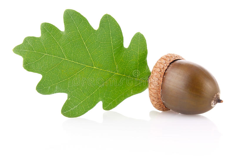 Acorn with green leaf stock photo
