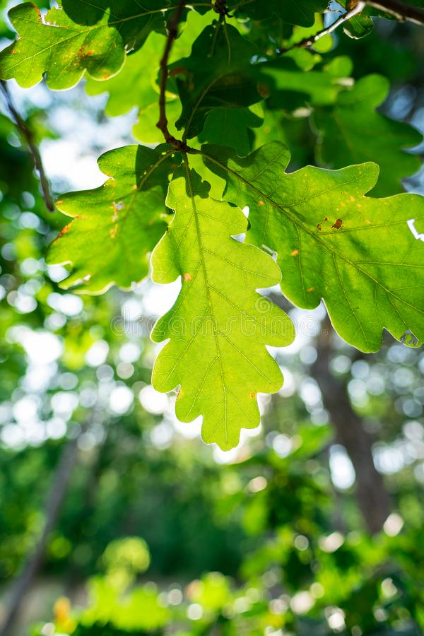 Acorn green leaves close up macro bright sunlight nature outdoors forest royalty free stock photography